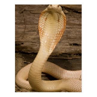 Albino Monacled Cobra, Naja kaouthia, coiled Postcard