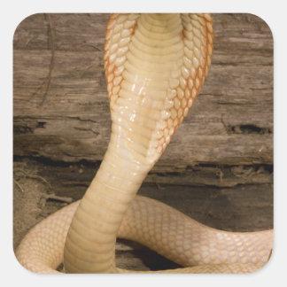 Albino Monacled Cobra, Naja kaouthia, coiled Square Sticker