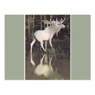 Albino Moose Postcard