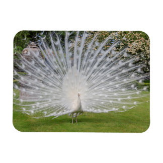 Albino Peacock Displays Feathers Magnet