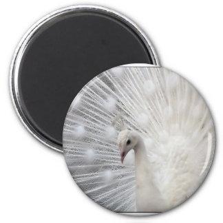 Albino Peacock Magnet