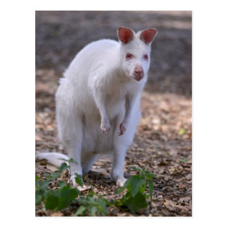 Albino Red-necked wallaby Postcard