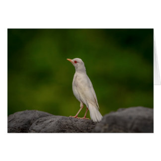 Albino Robin in Crown Point Card