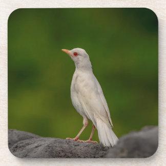 Albino Robin in Crown Point Coaster