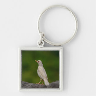 Albino Robin in Crown Point Key Ring