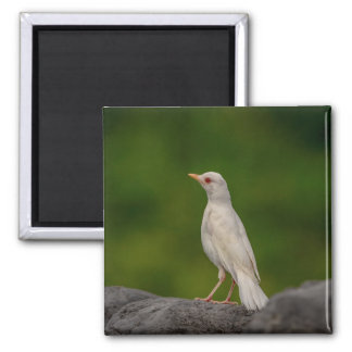 Albino Robin in Crown Point Magnet