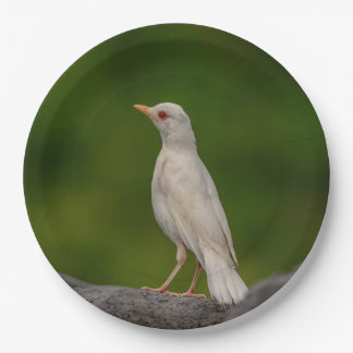 Albino Robin in Crown Point Paper Plate