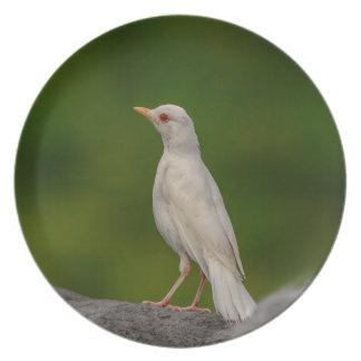 Albino Robin in Crown Point Plate
