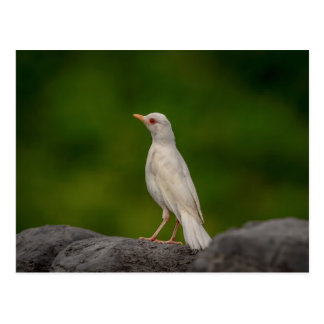 Albino Robin in Crown Point Postcard