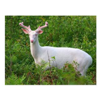 Albino Whitetail Deer Postcard