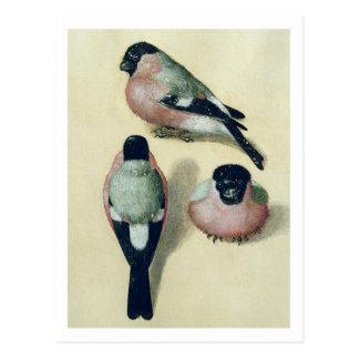 Albrecht Durer Three Studies Of A Bullfinch Postcard
