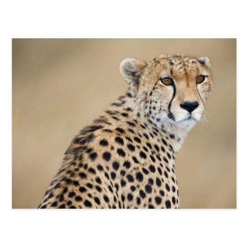 Alert Cheetah Acinonyx jubatus), Masai Mara Post Card