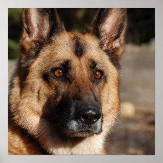 Alert German Shepherd Poster