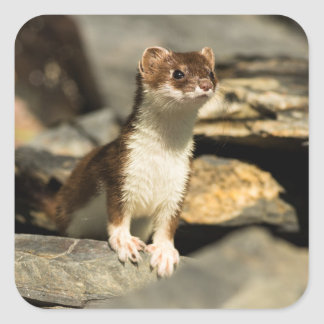 Alert Weasel Square Sticker