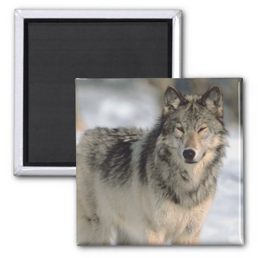 Alert Wolf Square Magnet