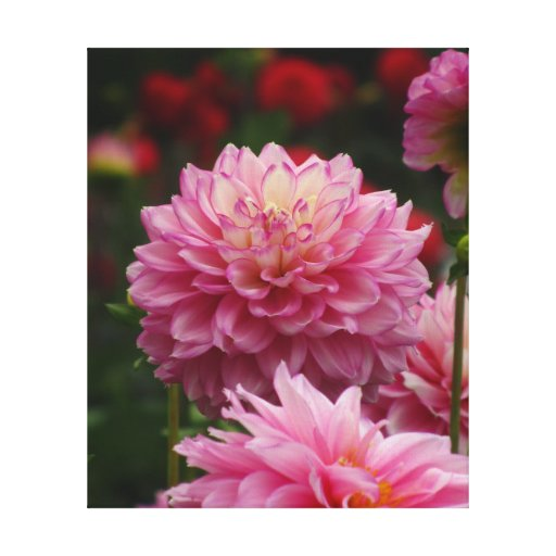 All Pink Dalia Flower Stretched Canvas Prints
