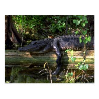 Alligator afternoon, Everglades, Florida Postcard