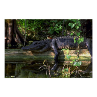 Alligator afternoon, Everglades, Florida Posters