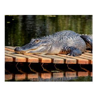 Alligator at Homosassa Springs Wildlife State Park Postcard