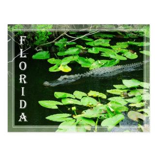Alligator in The Everglades National Park, Florida Postcard