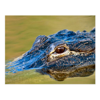 Alligator on the prowl postcard