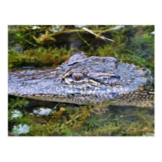 Alligator Postcards