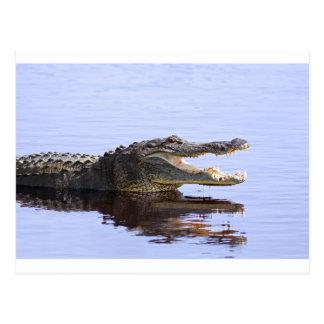 Alligator Postcard