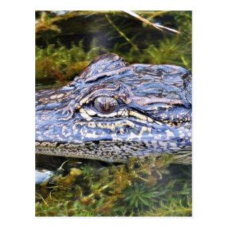Alligator Post Card