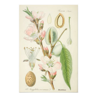 Almond Tree, Amygdalus communis, Photo Print