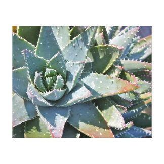Aloe brevifolia by Debra Lee Baldwin Canvas Print