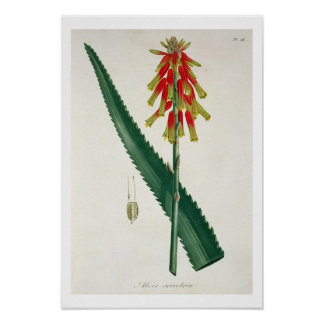 Aloe from 'Phytographie Medicale' by Joseph Roques Poster