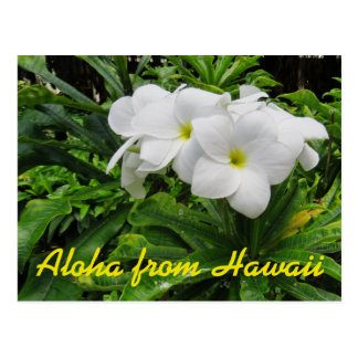 Aloha Hawaii White Plumeria Tropical Flower Postcard