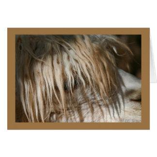 Alpaca Close-Up - Card