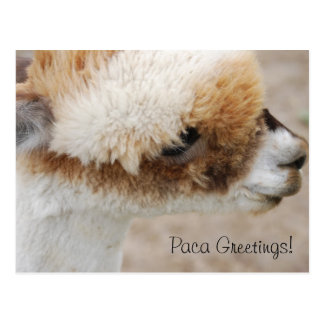 Alpaca Greetings! Postcard