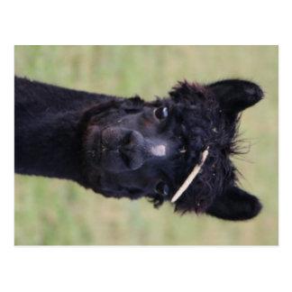 Alpaca Hay Day! Postcard
