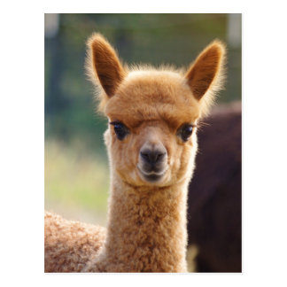Alpaca Postcards
