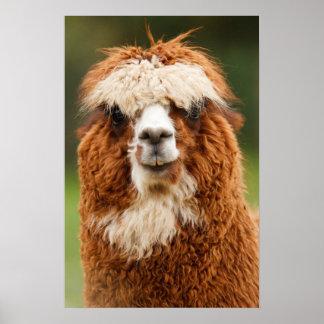 Alpaca Smiles Poster