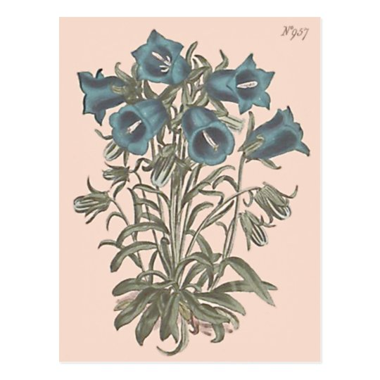 Alpine Bell Flower Botanical Illustration Postcard