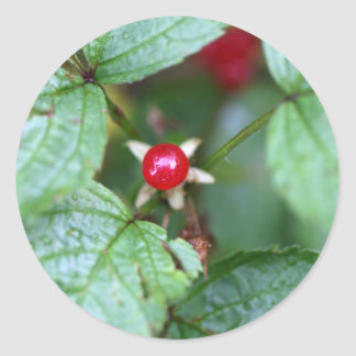 Alpine currant (Ribes alpinum) Classic Round Sticker