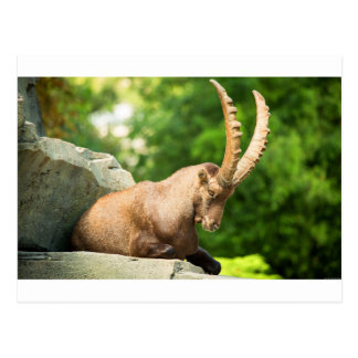 Alpine Goat Takes A Break From Climbing Postcard