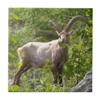 Alpine ibex eating leaves tile