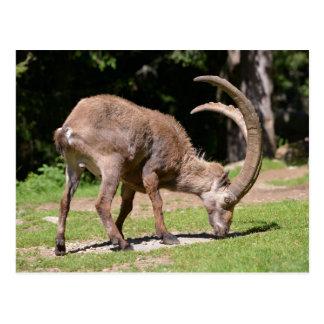 Alpine ibex grazing postcard