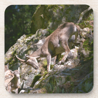 Alpine ibex in the mountain coaster