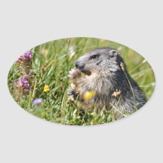 Alpine marmot eating flower oval sticker