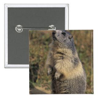 Alpine Marmot Marmota marmota adult standing Button