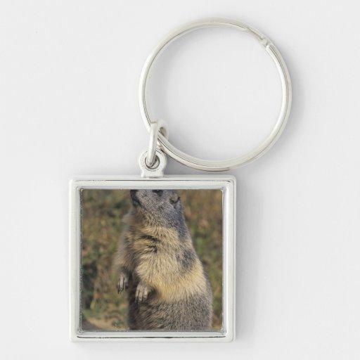 Alpine Marmot, Marmota marmota, adult standing Keychains