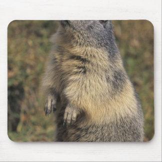 Alpine Marmot, Marmota marmota, adult standing Mouse Pads
