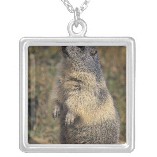 Alpine Marmot, Marmota marmota, adult standing Jewelry