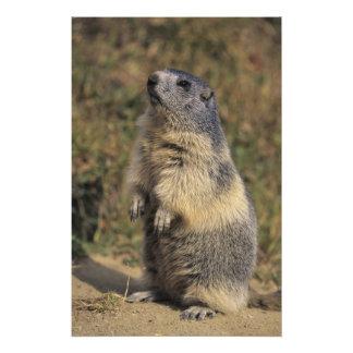 Alpine Marmot, Marmota marmota, adult standing Photo