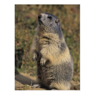 Alpine Marmot, Marmota marmota, adult standing Postcards